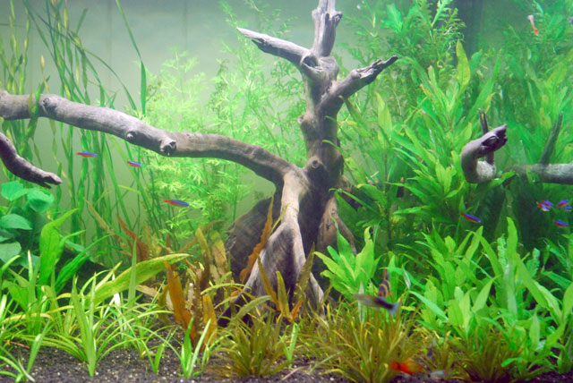 4x2x2 tropical fish community planted tank updated 22 for Jan s tropical fish