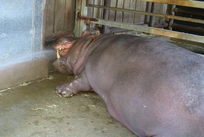 Hippo Teeth Cleaning