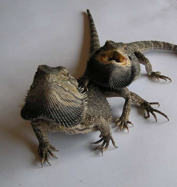 http://www.users.on.net/~rastus/lizards.jpg