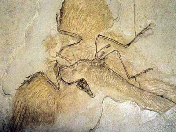 this is a fossil first thought to be a therapsid Archaeopteryx Not A Transitional Form